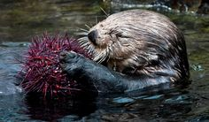 Sea Otter at Vancouver Aquarium Has a Spiky, Tasty Snack Animals And Pets, Baby Animals, Cute Animals, Funny Animals, Keystone Species, Vancouver Aquarium, Otter Pops, Kelp Forest, River Otter