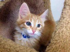 Petfinder  Adoptable | Cat | Domestic Short Hair | Palo Alto, CA | DANNY