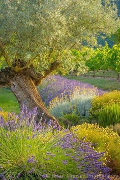 An old olive tree among lavender