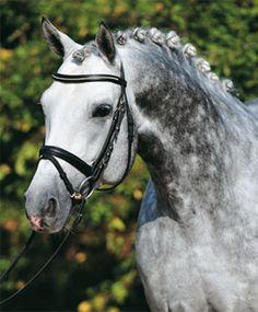 Denario- Bavarian Warmblood & Rottaler Horses    dappled grey english bridle