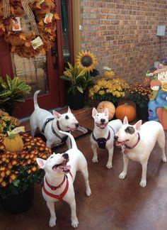 Bull terriers Ambrose, Lucy, Nora, and Jubi enjoying the fall season.