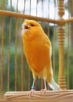Canary Birds, Beautiful Birds, Yorkshire, Parrot, Animals, Birds, Parrot Bird, Animales, Animaux