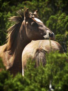 Wild Mustang Pryor Mountains