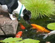 Cutest photo ever! A Koi pond gives this relaxing Hawaiian back yard a colorful and fun pop. (And the whole family loves it!)