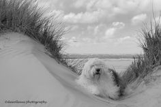 https://flic.kr/p/urA6E5 | Sophie on the beach in black and white | old english sheepdog  Sophie