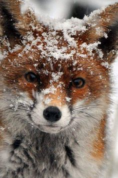 Red Fox What's cuter than cute animals? Why cute animals covered in snow of course! Start your day with a smile with these adorable pictures. Nature Animals, Animals And Pets, Animals In Snow, Wild Animals, Autumn Animals, Farm Animals, Beautiful Creatures, Animals Beautiful, Animals Amazing