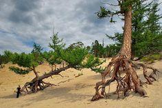 Ходульные или шагающие деревья на Байкале