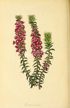Scarlet-flowered Epacris, epacris coccineus      ...