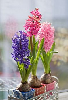 Hyacinth Bulbs spring home flowers decorate centerpiece bulbs hyacinth