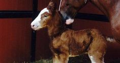 """– Anheuser-Busch has a new member of the Clydesdale family, reported KTVI. The foal named """"Memory"""" joins the heard of around 250 Clydesdale horses. The brewery started with a gift of. Clysdale Horses, Draft Horses, Breyer Horses, Horse Tack, All The Pretty Horses, Beautiful Horses, Animals Beautiful, Farm Animals, Animals And Pets"""