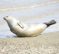 Gewoon gek doen? Of heeft dit een reden? Dit heeft zeker een reden: Een gezonde zeehond wil zijn kop en flappen graag droog houden. Deze lichaamsdelen hebben geen vetlaag, waardoor ze sneller afkoelen als ze nat worden. Dit dier is in topvorm, anders houd je deze houding nooit lang vol! We noemen het: De bananenhouding :)