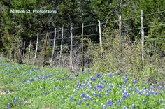 The Bluebonnets are beginning to show up on CR 205.