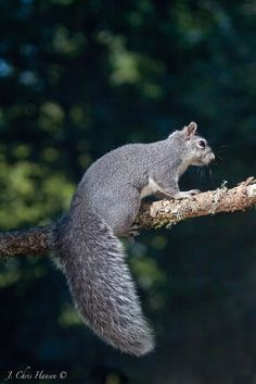 Don't You Just Love My Beautiful Tail?  A Western Gray Squirrel in my front yard on Friday. Mendocino county, Northern California