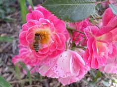 Honeybee and roses - National Geographic Your Shot