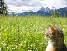 cat in alpine meadow