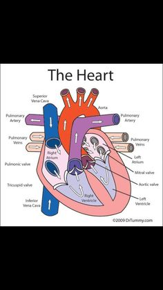 Oxygenated and Deoxygenated Blood in the Heart DIAGRAM | I ...