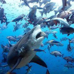 Shark - marine life Shark - marine life - The life of a shark under the ocean Shark Pictures, Shark Photos, Save The Sharks, Species Of Sharks, Shark Art, Shark Fish, Fish Ocean, Ocean Beach, Great White Shark