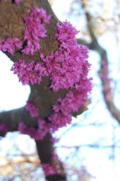 Redbud Tree Trunk Judas Tree, Flowering Bushes, Deciduous Trees, Pretty Flowers, Trees To Plant, Life Is Beautiful, Backyard Landscaping, Spring Time, Shrubs