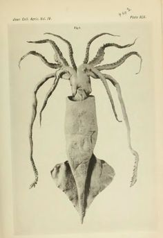 On a New Species of Moroteuthis from the Bay of Sagami, M. Lönnbergii - BioStor