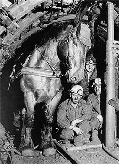 """Pit ponies of the coal mines are easily the most controversial working horses in history. Here a mining horse poses with his coworkers. In the 1960s, mechanization eliminated pit ponies altogether."""