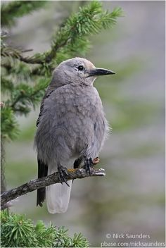 Clark's Nutcracker - The nutcrackers are a genus of three species of passerine bird, in the family Corvidae, related to the jays and crows. One, the spotted nutcracker, occurs in Europe and Asia.
