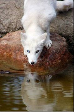 This is a silver fox... despite it being white. But really, look at those eyes!