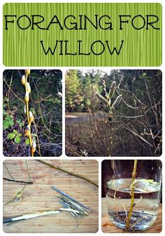 Foraging for Willow