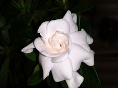 Only one of several gardenia blooms. Wish I could send you all the fragrance as they smell wonderful.