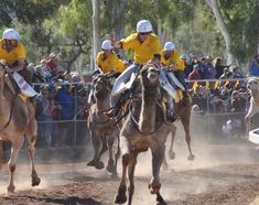 The Camel Cup is on in Alice Springs every July. The camels often go backwards before they go forwards!