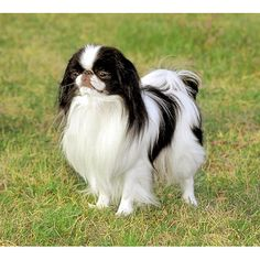 Japanese Chin - Playful, agile and friendly, with a wonderful sense of humor, this breed makes a charming pet. A beautiful long-coated toy breed, the Japanese Chin was a favorite of the Japanese imperial family and was distinguished from other dogs by its royal status.
