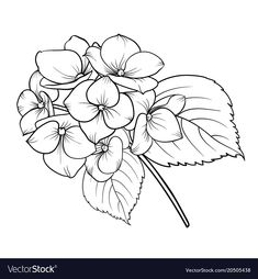 Blooming Flower Hydrangea On White Background. Flower Line Drawings, Flower Drawing Tutorials, Simple Line Drawings, Flower Sketches, Outline Drawings, Art Drawings, Beautiful Flower Drawings, Beautiful Flowers, Hydrangea Tattoo