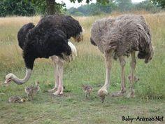 Baby ostrich and family  #babyanimals #babyostrich #ostrich #cuteostrich #littleostrich #sweetostrich #ostrichphotos #babyostrichpictures