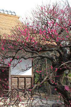 Plum tree with traditional farmer's house, Fuchu, Tokyo
