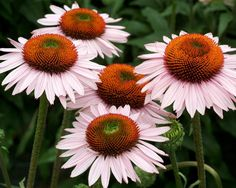 Product Viewer - Echinacea Hope