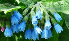 Herbal Gardening I need to find room in my gardens for a comfrey plant or two. - How to Grow Comfrey Feverfew For Migraines, Spirulina, Culture D'herbes, Natural Allergy Relief, Geranium Vivace, Healing Herbs, Natural Home Remedies, Herbal Remedies, Plantation