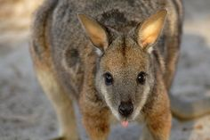 Wild Tammar Wallaby ~ Kangaroo Island, Australia.