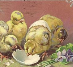 Baby Chicks Drinking from Eggshell on Vintage Tuck Easter Postcard  1910 Denver Cancel