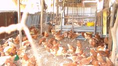 Poultry Keeping  We keep both layers and broilers (chicken), which provide eggs as source of proteins to the childrenand  the sick on our home based care program (HBC).  The eggs in surplus are sold out to cater for other financial needs.