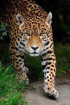 Occam's cat in Soulwood series by Faith Hunter Der Leopard, Jaguar Leopard, Jaguar Animal, Nature Animals, Animals And Pets, Baby Animals, Cute Animals, Pretty Cats, Beautiful Cats