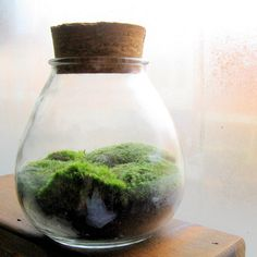 moss terrarium. Just go outside and find some! Isolate the moss for a couple weeks to ensure no insects contaminate the other plants in the terrarium. The moss needs high humidity from a spray bottle and indirect light