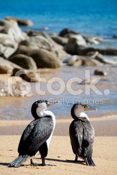 Pied shags inhabit coastal habitats around much of New Zealand. The Absence, Image Now, Geology, Habitats, New Zealand, Coastal, Royalty Free Stock Photos, Birds, Bird
