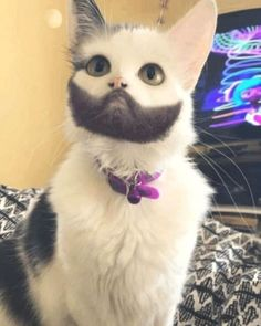 Cat with amazing beard - your daily dose of funny cats - cute kittens - pet memes - pets in clothes - kitty breeds - sweet animal pictures - perfect photos for cat moms Cute Cats And Kittens, I Love Cats, Crazy Cats, Kittens Cutest, Ragdoll Kittens, Tabby Cats, Bengal Cats, Cute Funny Animals, Funny Animal Pictures