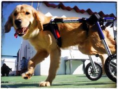 Help us save HOPE, paralysed and with his heart full of worms | MyLetsAdopt! Global