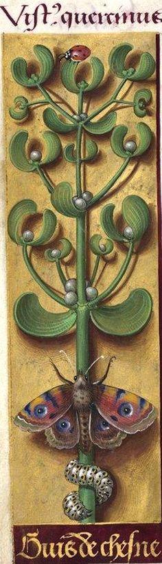 guis de chesne - Vistus quercinus (Viscum album L. = gui) -- Grandes Heures d'Anne de Bretagne, BNF, Ms Latin 9474, 1503-1508, f°121v