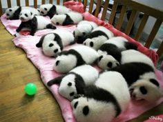 Chengdu Panda Preserve, China