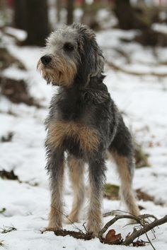 Griffon Nivernais.. . .a scenthound type dog breed originating in France..versatile hunter both individually and in packs.