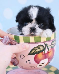 Tiny Imperial Shih Tzu puppy by TeaCups, Puppies & Boutique  www.TeaCupsPuppies.com