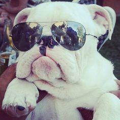 I am the last word in cuteness. #bulldogpuppy  #sunglasses