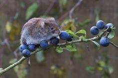 owls-n-elderberries:  Bank Vole (Clethrionomys glareolus) by phil winter on Flickr.