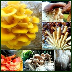 The Forest Fungi Correspondence Mushroom Cultivation Course is for anyone interested in learning how to cultivate mushrooms. We have decided to offer our course Grow Your Own Mushrooms, Growing Mushrooms At Home, Mushroom Kits, Mushroom Cultivation, Grow Your Own Food, Fungi, Pineapple, Stuffed Mushrooms, Organic